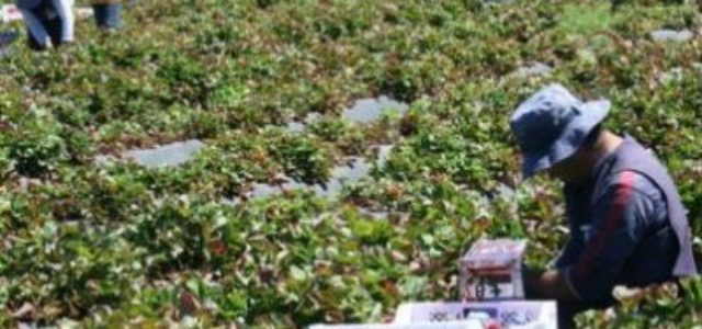 Chile: Cerca de 500 trabajadores intoxicados por plaguicidas en la Región del Maule