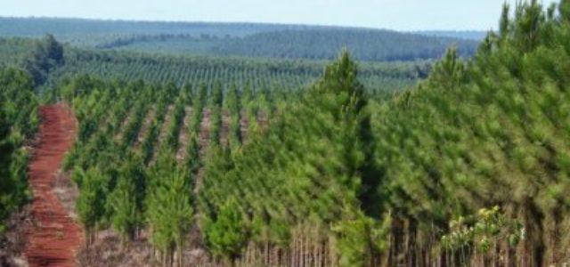 """Chile – Gobierno subsidiará """"reforestación"""" con monocultivos de pinos en zonas afectadas por incendios"""