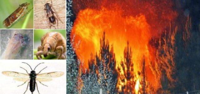 """Chile – Revuelo en caso incendios e """"intencionalidad"""": Zonas devastadas estaban infestadas por plagas en plantaciones forestales"""