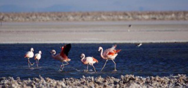 Chile – Destrucción de ecosistema del Salar de Atacama por  mineras SQM y Rockwood Lithium