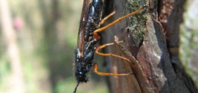 Chile – Investigan relación entre incendios forestales, seguros y cuarentena a plantaciones de árboles afectados por grave plaga de avispas