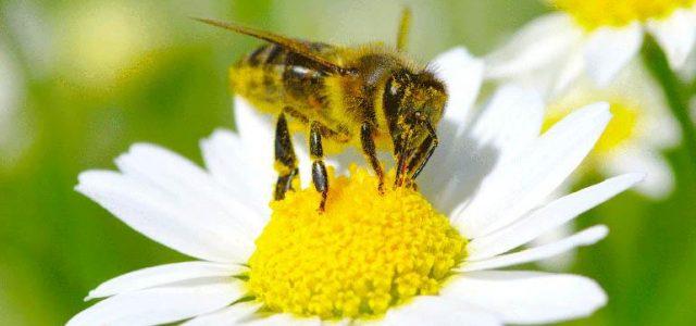 Experimentos confirman que insecticidas agrícolas son nocivos para las abejas