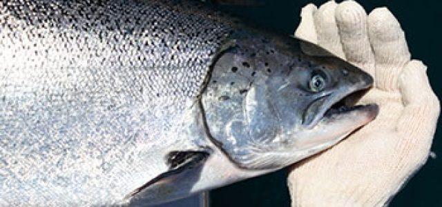 Estados Unidos cancela lincencia a salmonera Cooke por escape de salmones