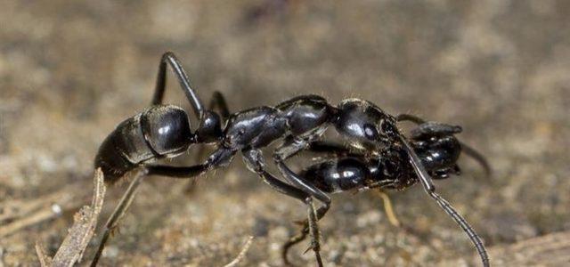 Ciertas hormigas actúan deenfermeras, revela estudio