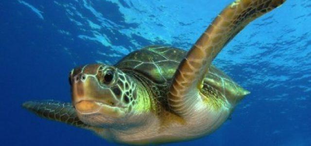 Chile – Llaman a defender las tortugas verdes de la Bahía Chasco ante amenaza de instalación de termoeléctrica Andes LNG