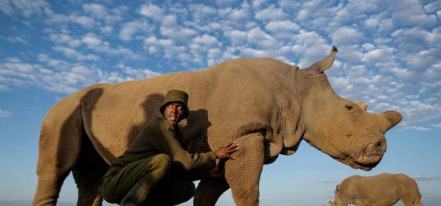 Murió Sudán, el último rinoceronte blanco macho del mundo