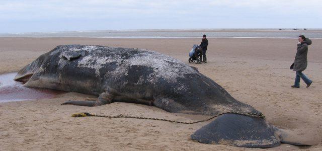España – Un cachalote ha muerto por comer 29 kilos de basura. Otro ejemplo de nuestro enorme problema con el plástico