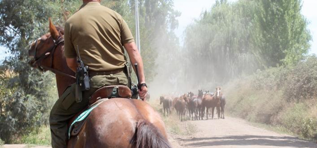 Chile – Ahora carabineros involucrados en tráfico de caballos pura sangre