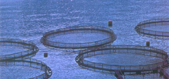 """EEUU – Gobernación de Washington: El salmón industrial es """"un riesgo intolerable"""""""