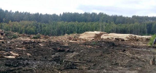 Empresas forestales en San Juan de la Costa: la punta de lanza del neoliberalismo extractivista en territorio mapunche williche