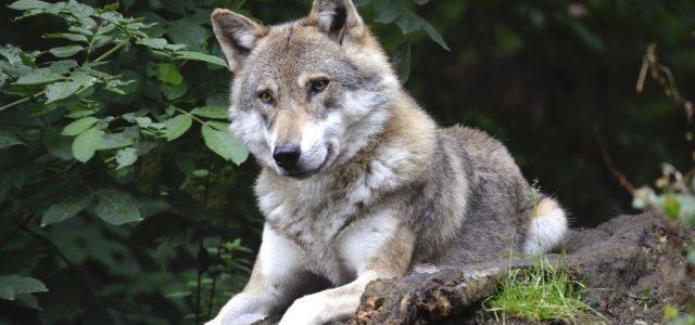 Hallan en Siberia la cabeza de un lobo gigante que vivió hace 40.000 años