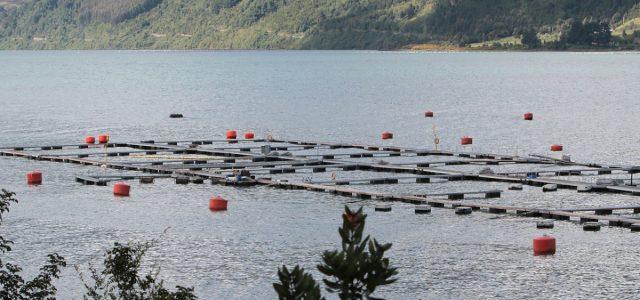 [Columna] La industria del terror: Salmones chilenos