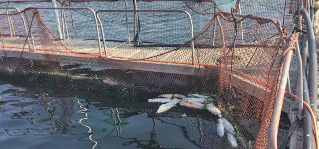 Salmones muertos en Chiloé: Multinacional japonesa no avisó de esta emergencia a Autoridades
