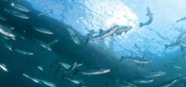 Un problema crónico de las salmoneras: Nuevo escape de miles de salmones en Chiloé en menos de 3 meses