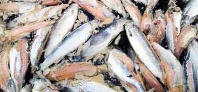 Después de Chiloé, ahora en Aysén ocurre masiva mortalidad de salmones